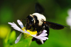Hardworking Bee. On a flower royalty free stock photo