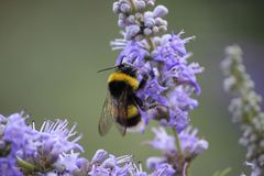 Bee on flowers. Bee is working for make honey. He is on purple flowers. Bee look so flufy. Macro photogrpah royalty free stock images