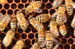 Hardworking bees on honeycomb Royalty Free Stock Images