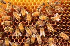 Hardworking bees on honeycomb Stock Photos