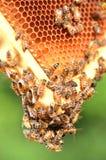 Hardworking bees on honeycomb Royalty Free Stock Image