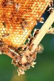 Hardworking bees on honeycomb Stock Image