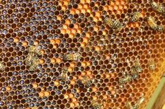 Hardworking bees on honeycomb Royalty Free Stock Photo