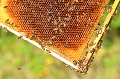 Hardworking bees on honeycomb Stock Images