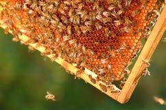 Hardworking bees on honeycomb Stock Photography