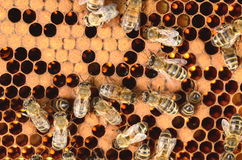 Hardworking bees on honeycomb Royalty Free Stock Photography