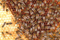 Hardworking bees on honeycomb Royalty Free Stock Photos