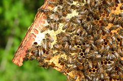 Hardworking bees on honeycomb Royalty Free Stock Photo