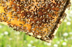 Hardworking bees on honeycomb in the springtime Royalty Free Stock Image