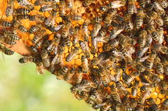 Hardworking bees on honeycomb in the springtime Royalty Free Stock Photo