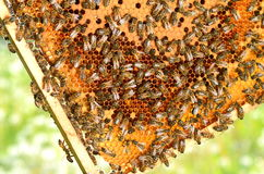 Hardworking bees on honeycomb in the springtime Stock Images