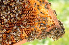 Hardworking bees on honeycomb in the springtime Stock Photos