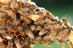 Hardworking bees on honeycomb in the springtime Royalty Free Stock Images