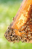 Hardworking bees on honeycomb in the springtime Royalty Free Stock Photos