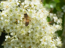 Hardworking bijen zuigende nectar van kleine witte de lentebloemen Stock Afbeelding