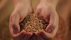 Hardworking farmer holding handful of high quality grain, love for crop farming. Stock footage stock video