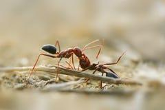 Hardworking mier die dode gunstig dragen stock afbeeldingen