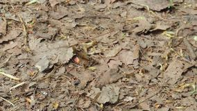 Hardworking mier stelt en sleept een blad in werking stock video