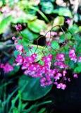 Hardy begonia Stock Photo
