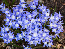 Hardy blue flowered leadwort. Clump of vivid blue Hardy Blue Flowered Leadwort (ceratostigma plumbaginoides stock image