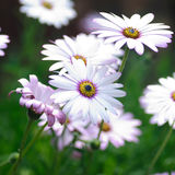 Hardy cape daisies background Royalty Free Stock Photo