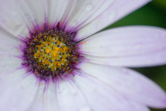 Hardy cape daisy close up Stock Photo