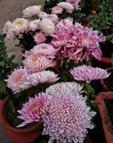 Hardy chrysanthemums & x28;pink& x29;. Pink hardy chrysanthemums bloom together in the winter months stock photos