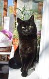 Hardy czarny kot z zielonymi oczami siedzi dumnie na okno na pogodnym letnim dniu obraz stock