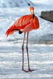 Hardy flamingo in the snow Stock Image