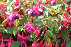 Hardy Fuchsia Plants royalty-vrije stock foto