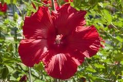 Hardy Hibiscus rojo Foto de archivo libre de regalías
