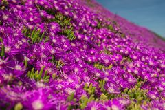 Hardy Ice Plant in Bloom. Beautiful Purple Blossom Flowers, Native California Wildflower, Hardy Ice Plant stock photo