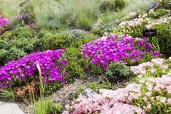 Hardy ice plant (Delosperma cooperi) Stock Photos
