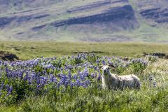 Hardy Icelandic sheep grazing pasture with Nootka Lupines Lupin. Hardy Icelandic ewe sheep grazing pasture with Nootka Lupines Lupinus nootkatensis. Purple stock images