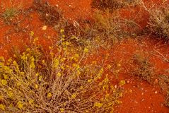 Hardy Life in a Harsh Desert. A hardy flowering plant off Sturt Highway in Central Australia, with characteristic red earth and sand Stock Photo