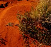 Hardy Life in a Harsh Desert. A hardy plant native grass off the Sturt Highway in Central Australia, with characteristic red earth and sand Royalty Free Stock Photo