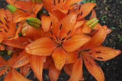 Hardy Lilies met waterdruppeltjes royalty-vrije stock afbeelding
