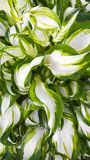 Hardy perennial host plant . Hardy perennial host plant with white green leaves Royalty Free Stock Photography