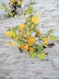 Hardy plant on beach. Hardy plant growing in sand on Italian beach Royalty Free Stock Image
