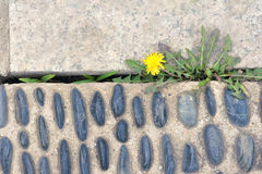 Hardy plant. The dandelion is growing and flowering in cement ground chink Stock Image