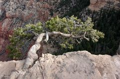 Hardy plant at the Grand Canyon. Piñon tree clinging to the edge of a cliff Stock Photos