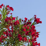 Arizona's Hardy Red Oleander Royalty Free Stock Image