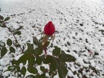 Hardy Rose Stock Photo