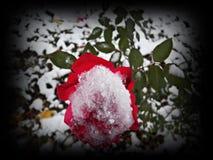 Hardy Rose Royalty Free Stock Photo