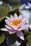 Hardy Water Lily. On green leaves packground royalty free stock photo