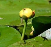 Hardy Water Lily amarillo y Honey Bee Foto de archivo