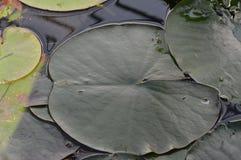 Hardy Water Lily Pads frío Fotos de archivo