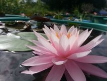 Hardy waterlily. Pink color stock photography