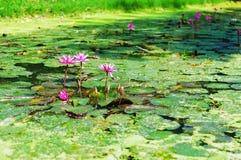 Hardy Waterlily i naturpöl Arkivbild