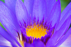 Hardy Waterlily in nature pool Royalty Free Stock Images
